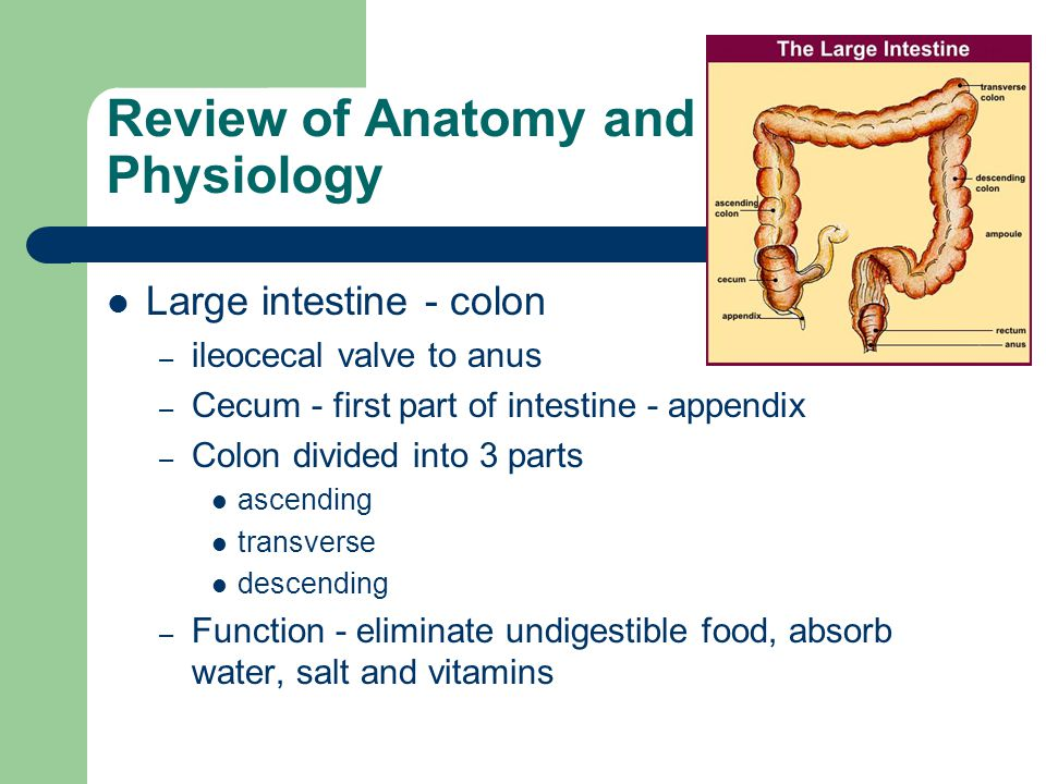 anatomy and physiology of appendix pdf
