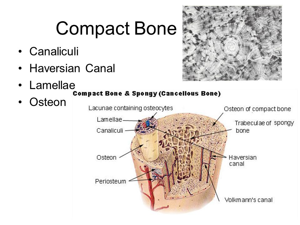 Bone Physiology Ppt Download