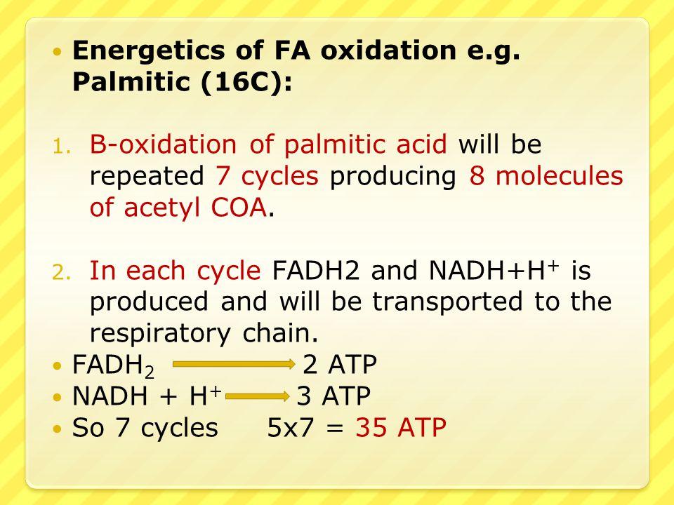 beta oxidation in hindi