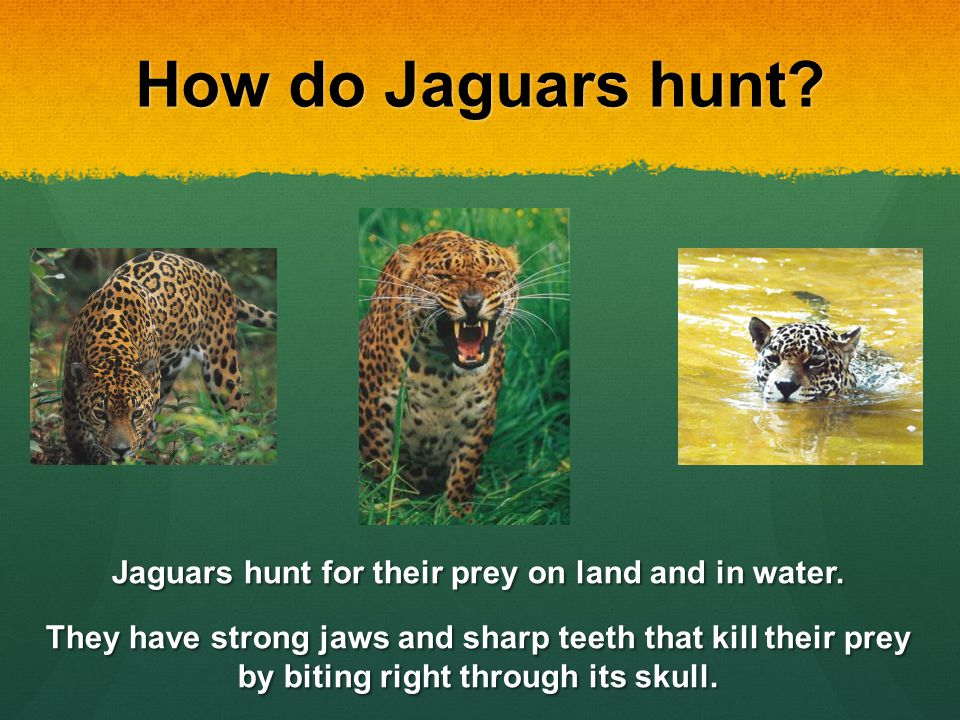 Jaguars By: Thomas Byrd. - ppt video online download - photo#28
