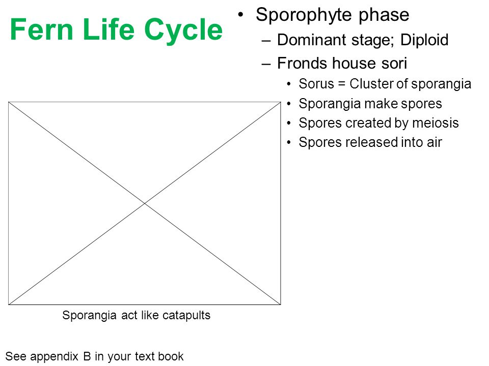Fern Life Cycle Sporophyte phase Dominant stage; Diploid