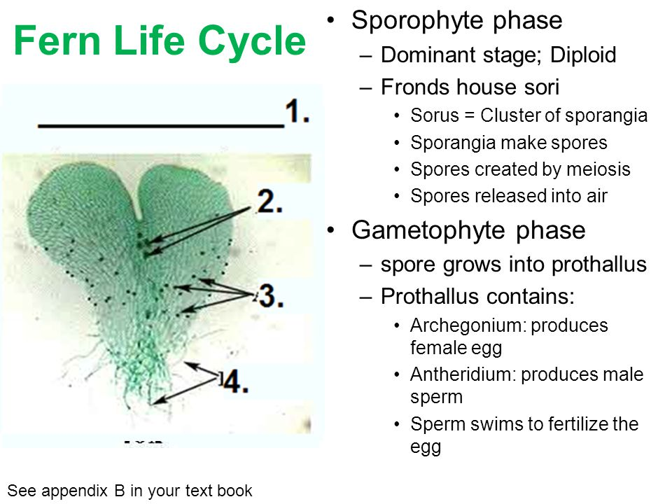 Fern Life Cycle Sporophyte phase Gametophyte phase