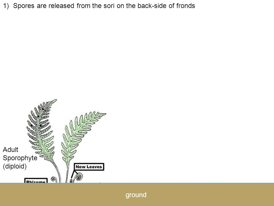 Spores are released from the sori on the back-side of fronds