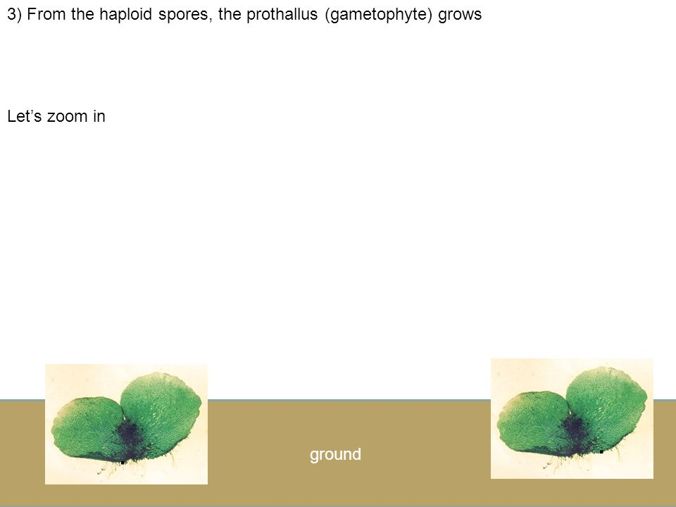 . . 3) From the haploid spores, the prothallus (gametophyte) grows
