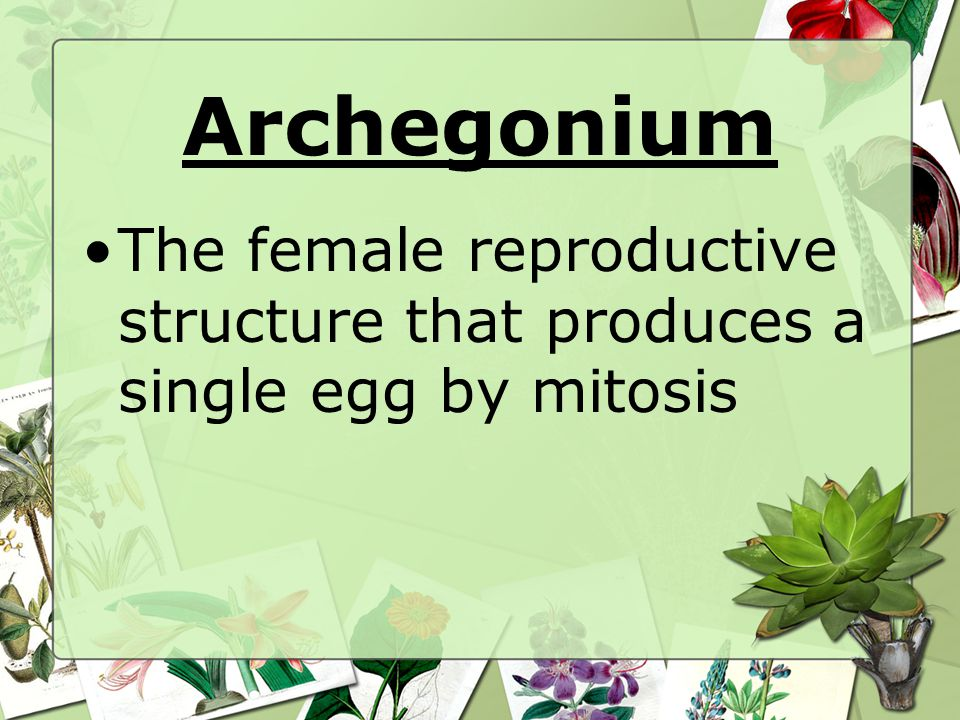 Archegonium The female reproductive structure that produces a single egg by mitosis
