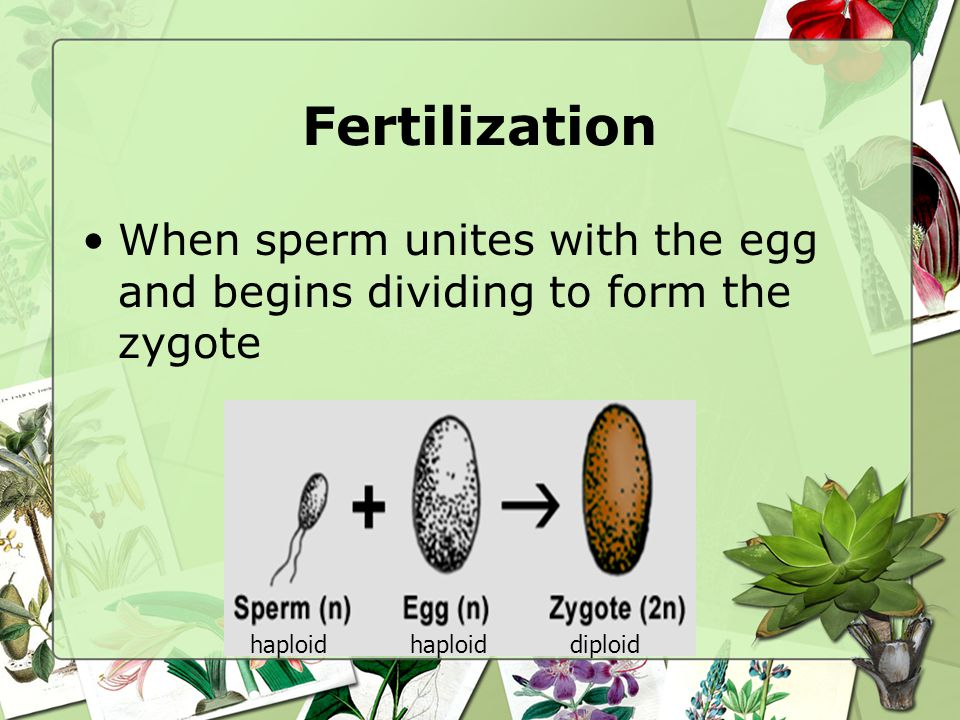 Fertilization When sperm unites with the egg and begins dividing to form the zygote. haploid. haploid.
