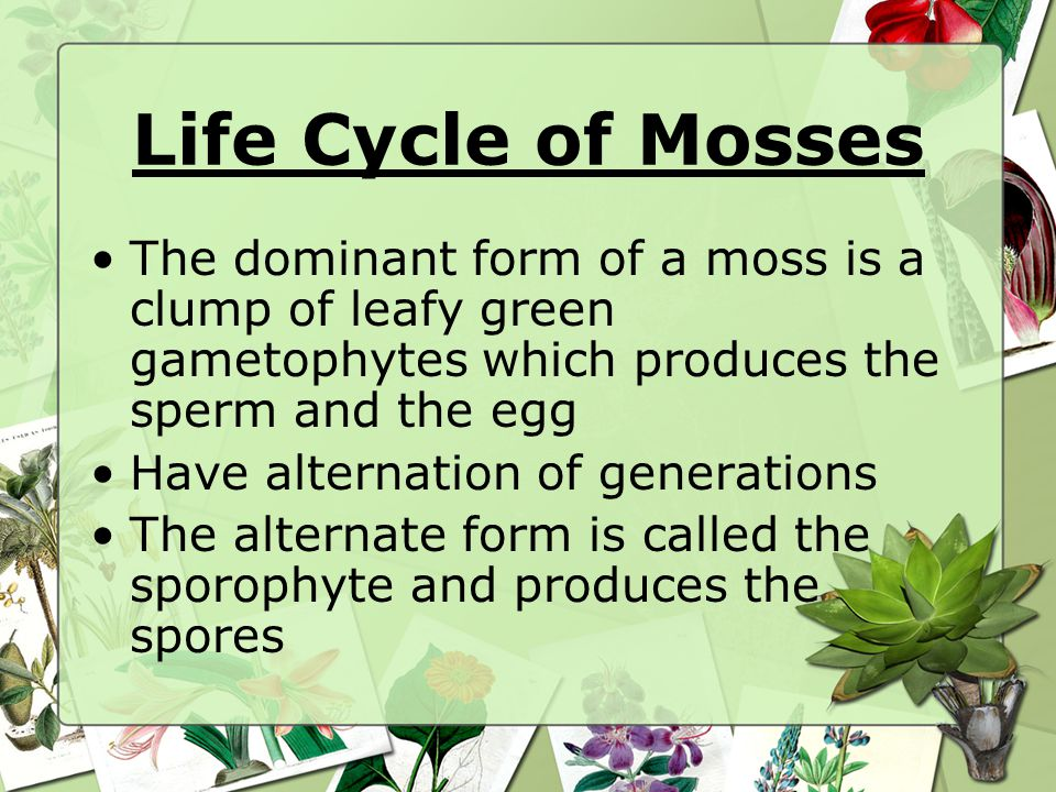 Life Cycle of Mosses The dominant form of a moss is a clump of leafy green gametophytes which produces the sperm and the egg.