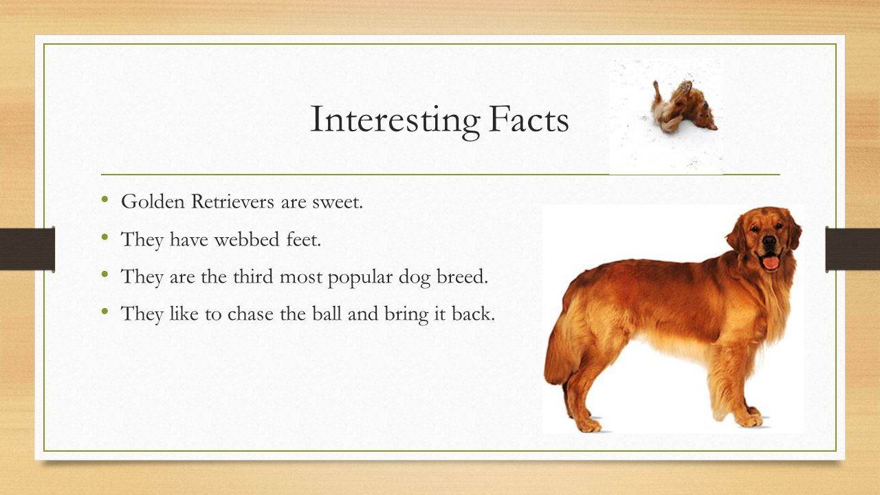 golden retriever by scarlett arnett ppt video online