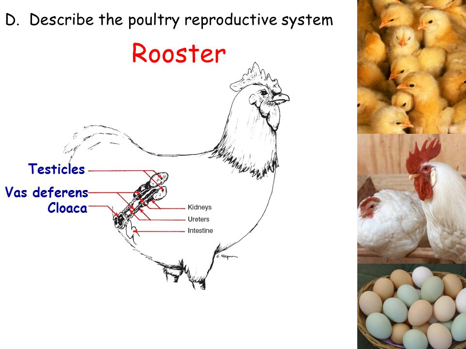 Poultry production ppt video online download rooster d describe the poultry reproductive system testicles ccuart Choice Image