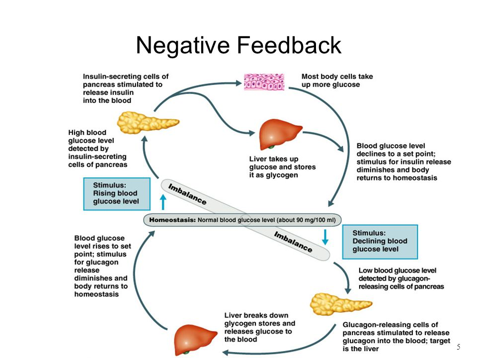 Berhmt Examples Of Negative Feedback In Anatomy And Physiology
