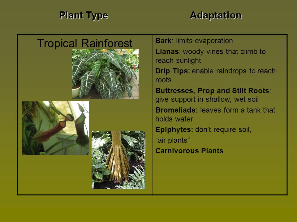 adaptive features of plants in the tropical rainforest Learn and revise about the ecosystem, plant and animal life and deforestation of the rainforest with bbc bitesize ks3 geography tropical rainforest ecosystems.