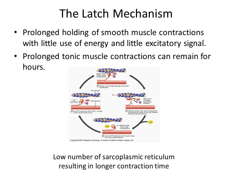 Contraction and Excitation of Smooth Muscles Arsalan ...