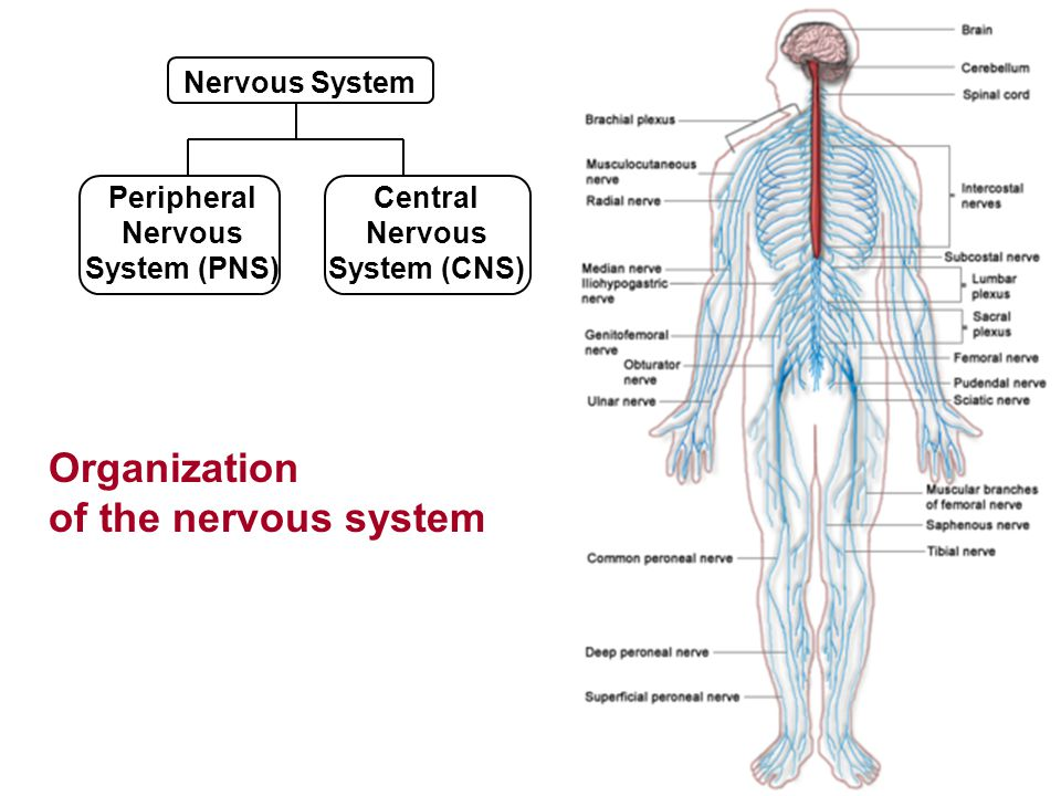 peripheral nervous system Purpose the committee reviews and evaluates data concerning the safety and effectiveness of marketed and investigational human drug products for use in the treatment of neurologic diseases and makes appropriate recommendations to the commissioner of food and drugs.