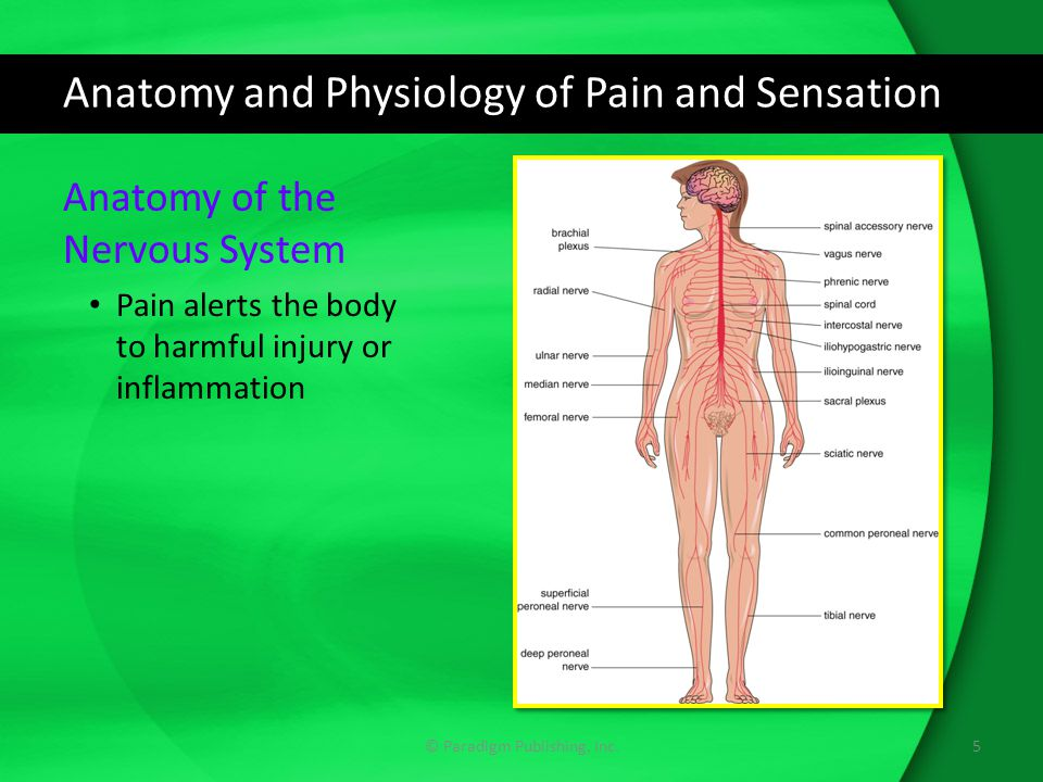 drugs for pain, headache, and anesthesia - ppt download, Muscles