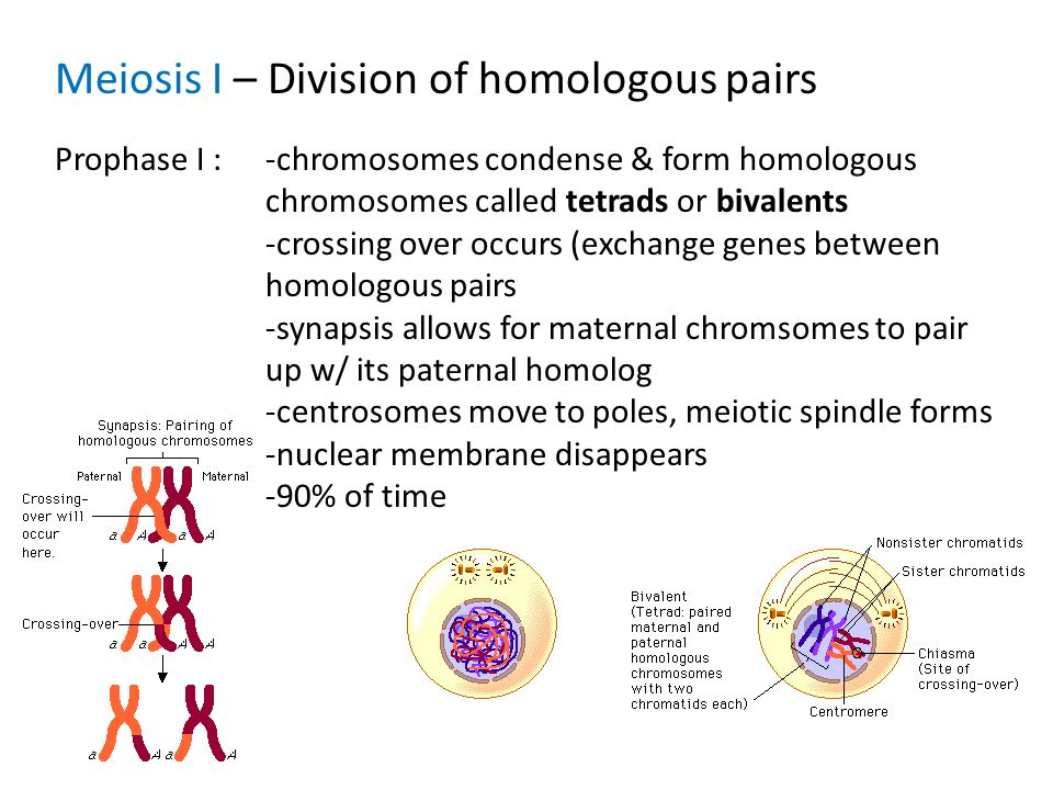 relationship between bivalents and homologous chromosomes migrate