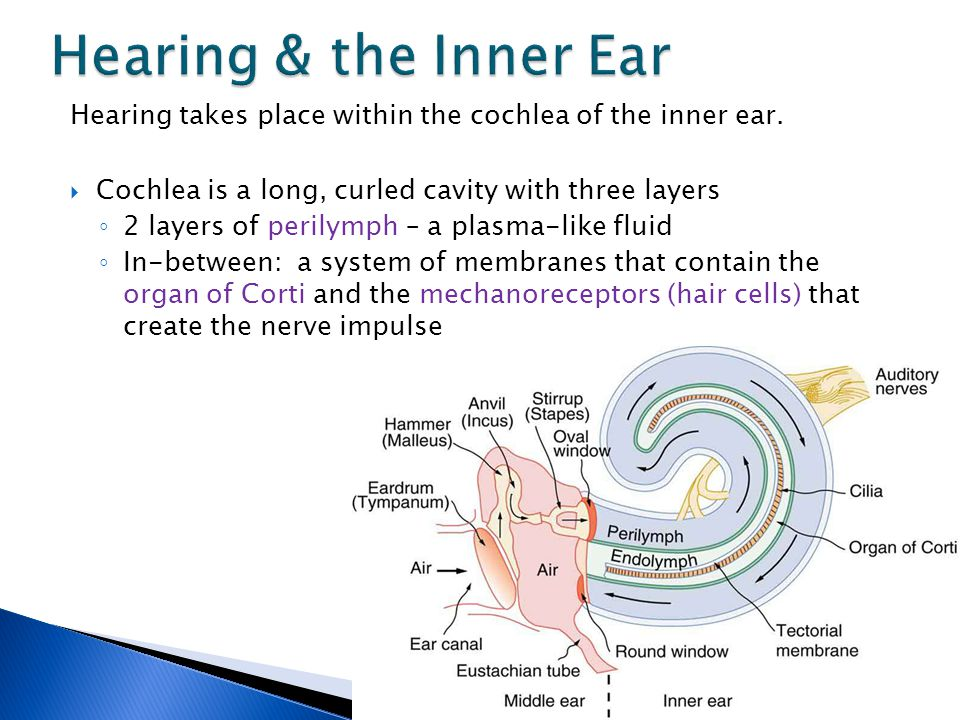 Outstanding unlabeled ear diagram gift anatomy and physiology mechanoreceptor ear diagram wiring library ccuart Image collections