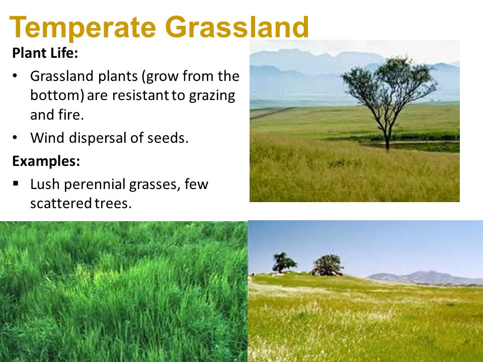 http://slideplayer.com/5991585/20/images/18/Temperate+Grassland+Plant+Life%3A.jpg Temperate