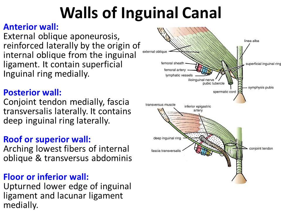 Anatomy inguinal canal