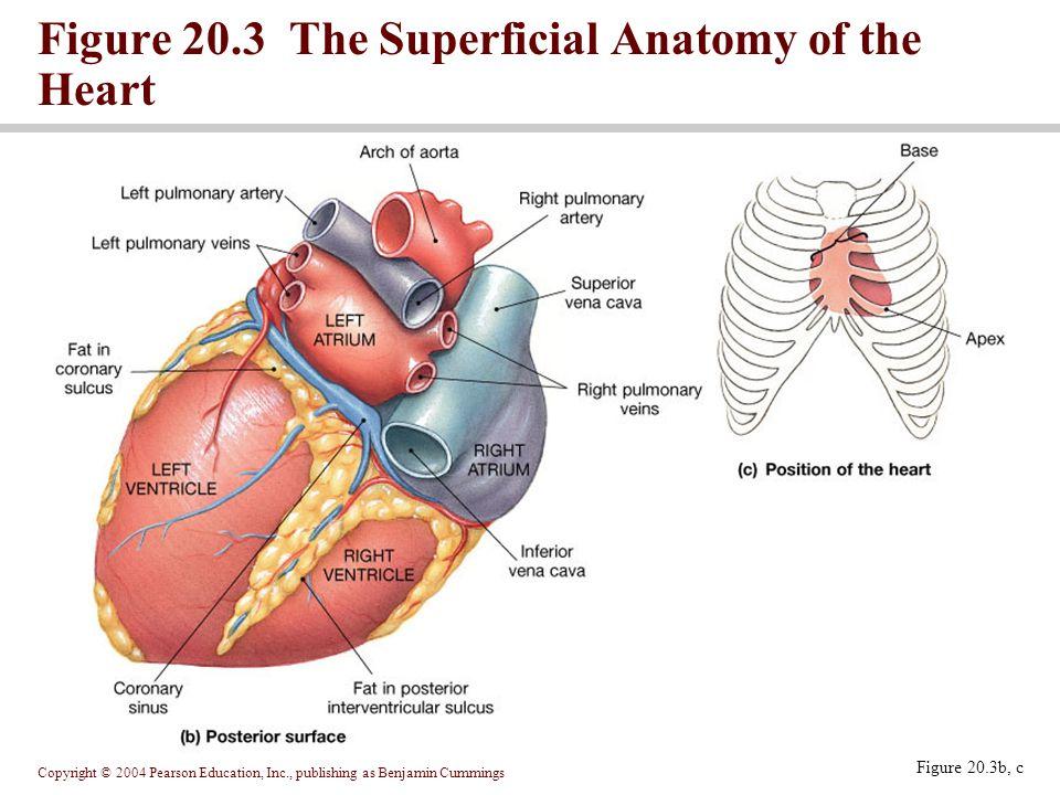 Unique Heart Anatomy Coronary Sinus Inspiration Human Anatomy