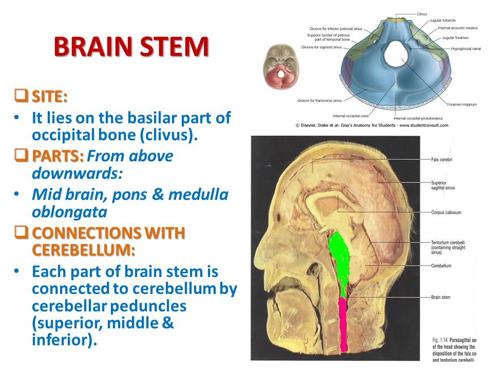 * BRAIN STEM EXTERNAL FEATURES - ppt video online download