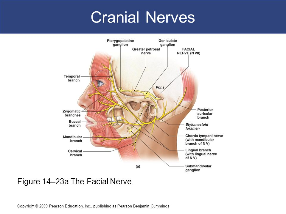 Funky Anatomy Facial Nerve Collection - Human Anatomy Images ...