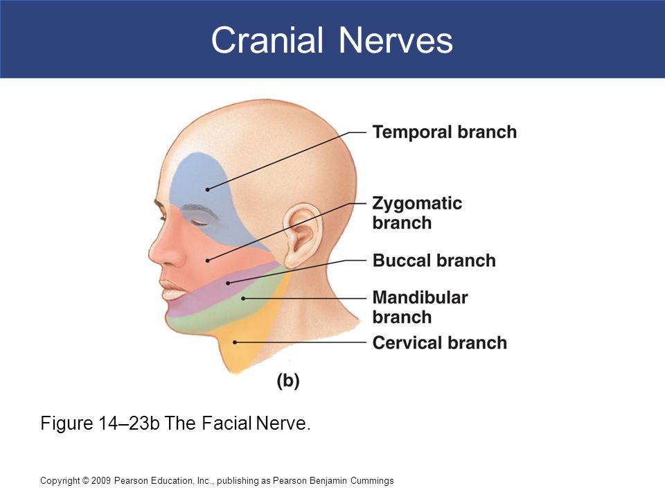 Facial Nerve Anatomy Video Gallery - human body anatomy
