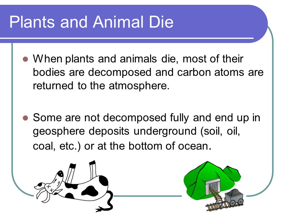 Plants and Animal Die When plants and animals die, most of their bodies are decomposed and carbon atoms are returned to the atmosphere.