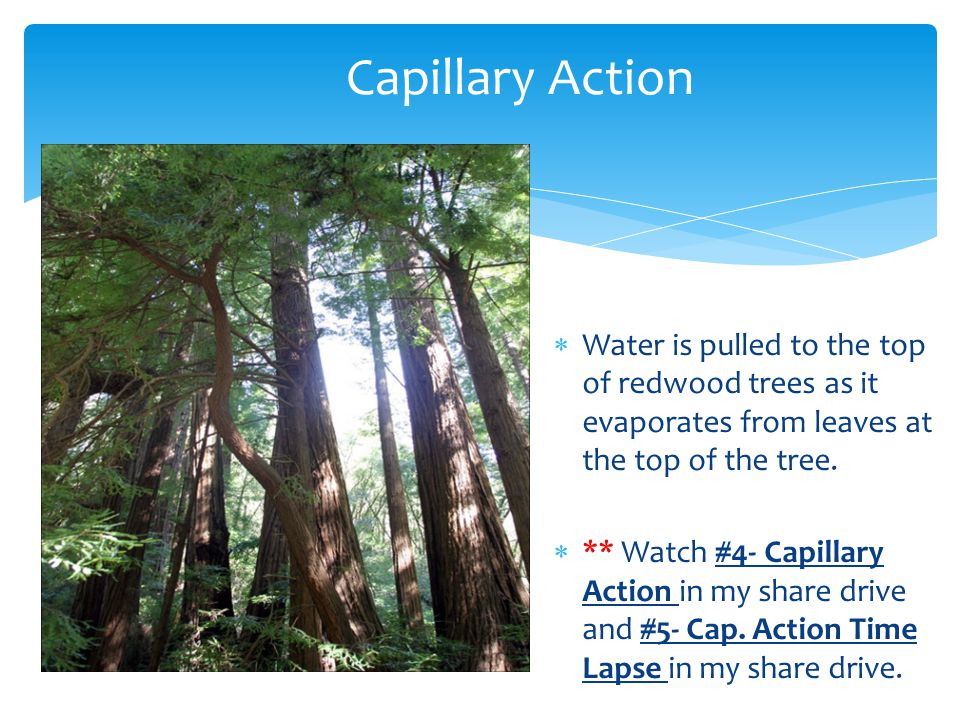 Capillary Action Water is pulled to the top of redwood trees as it evaporates from leaves at the top of the tree.