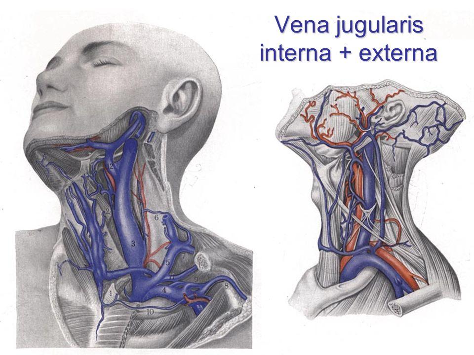 Vena jugularis interna + externa