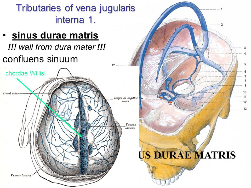 Tributaries of vena jugularis interna 1.
