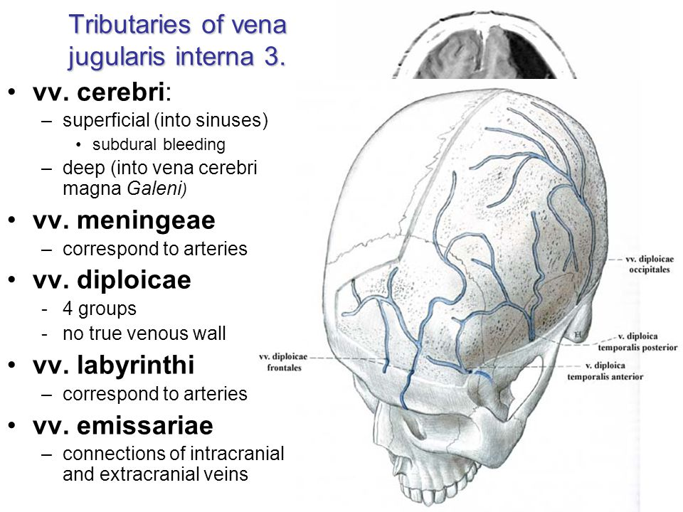 Tributaries of vena jugularis interna 3.