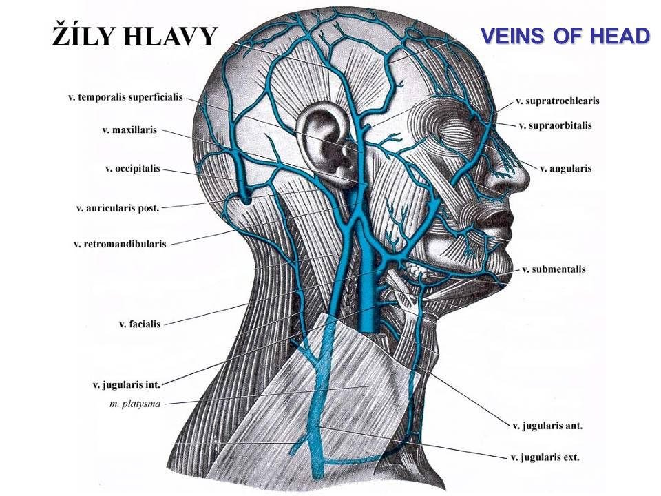VEINS OF HEAD