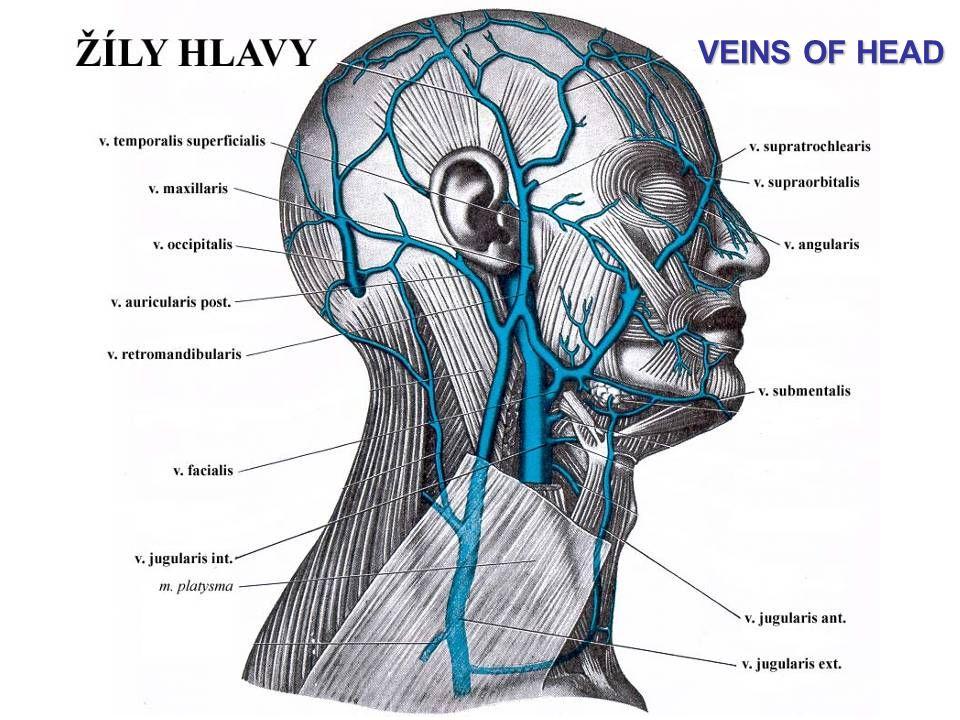 VEINS OF HEAD
