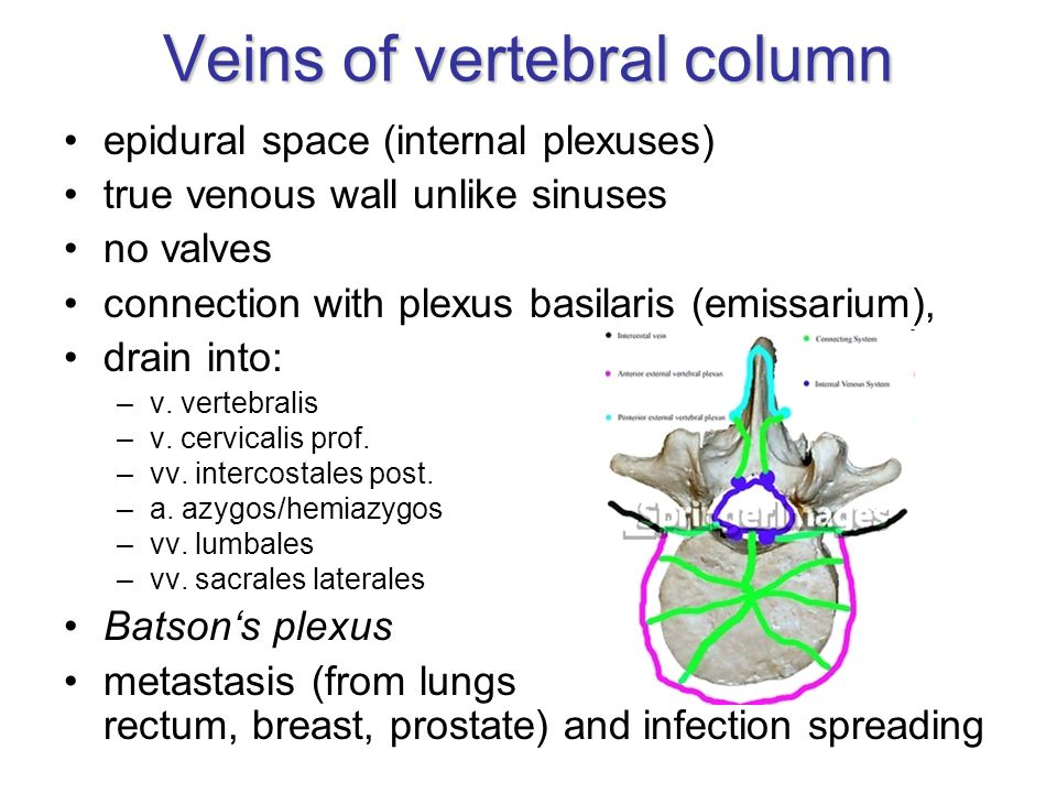 Veins of vertebral column