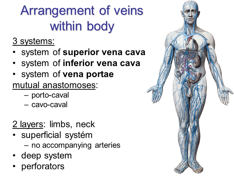 Arrangement of veins within body