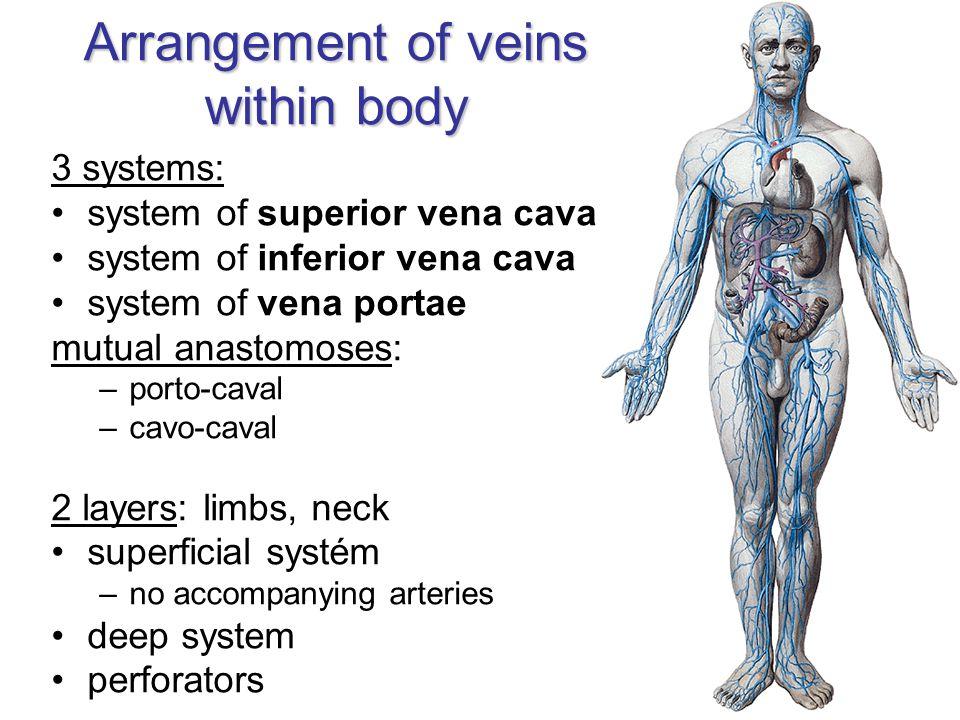 Arrangement of veins within body