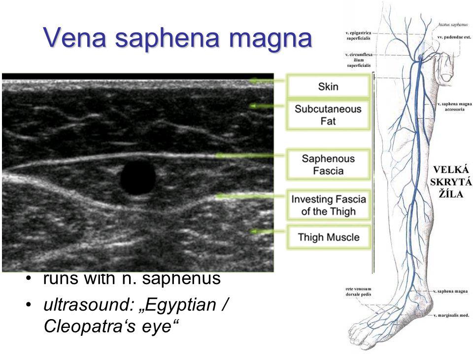 Vena saphena magna confluens venosus subinguinalis