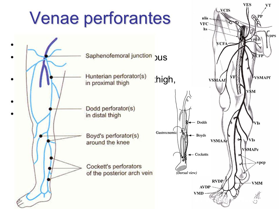 Venae perforantes simple, double or multiple