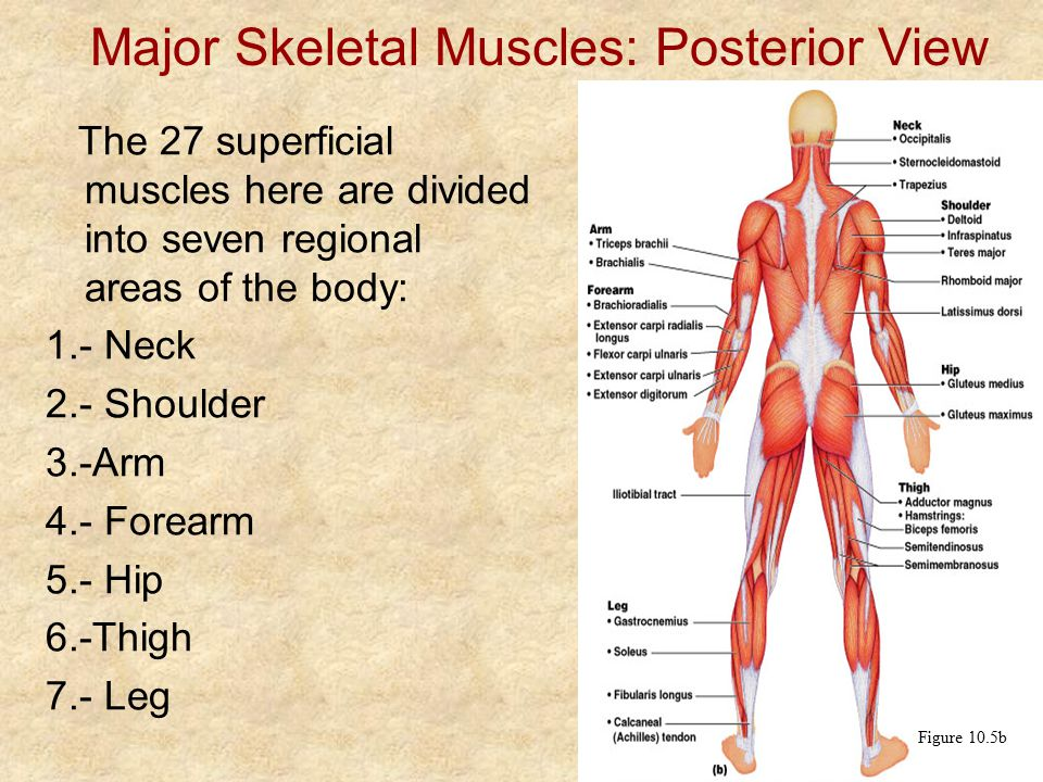 review sheet skeletal muscles Start studying exercise 13: gross anatomy of the muscular system (review sheet) learn vocabulary, terms, and more with flashcards, games, and other study tools.