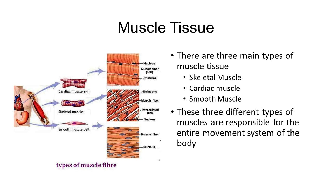 Three types of muscle tissue | Custom paper Service