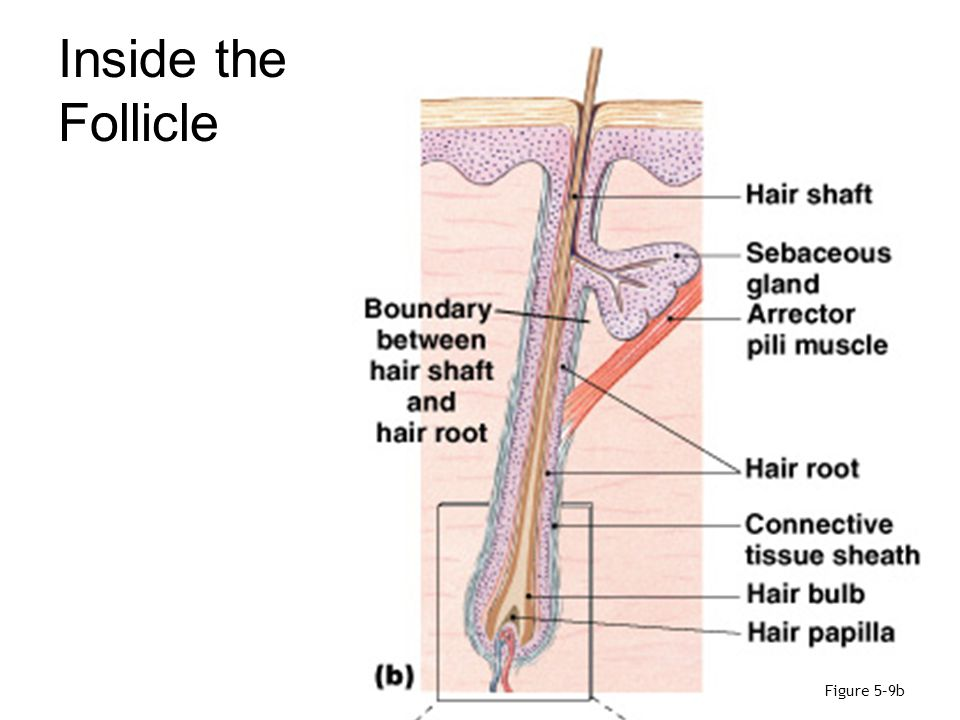 Inside the Follicle Figure 5–9b