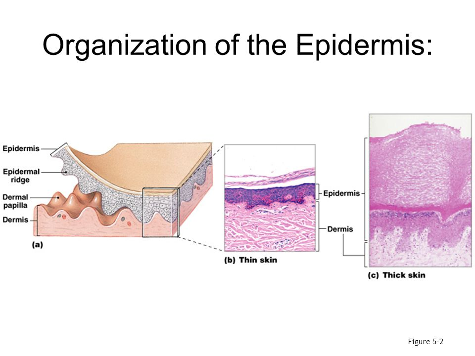 Organization of the Epidermis: