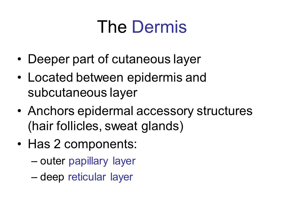 The Dermis Deeper part of cutaneous layer