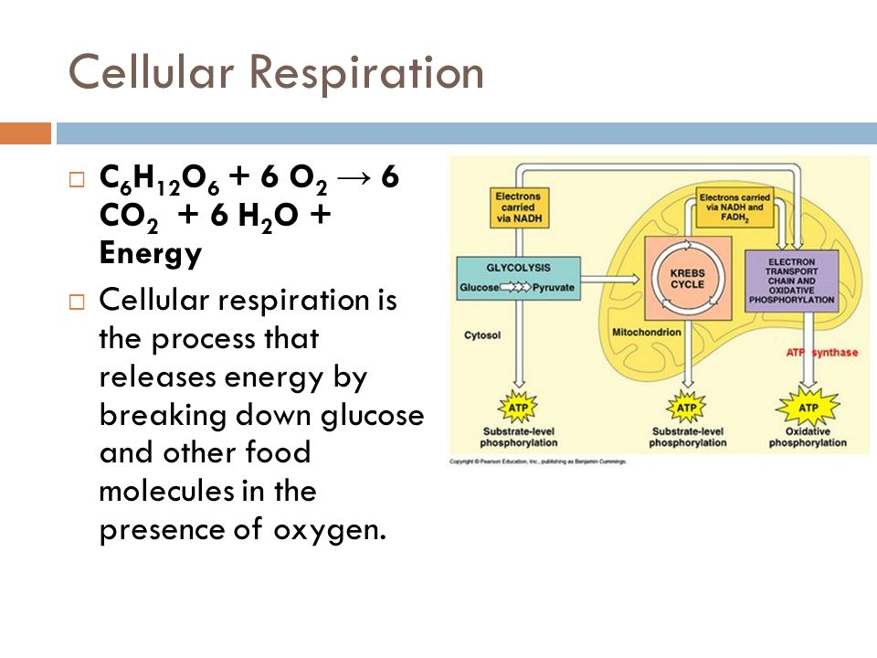 organelle release oxygen Respiration occurs in your cells and is fueled by the oxygen you inhale the carbon dioxide gas you exhale is the result of a completed cycle of cellular respiration only plants can photosynthesize, but both plants and animals depend on respiration to release the chemical potential energy originally captured through photosynthesis.