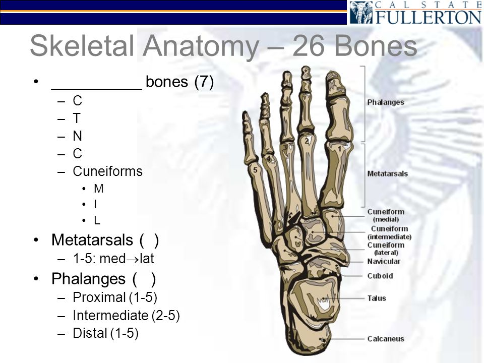 Anatomy of Metatarsal Bones and Phalanges Bone and Spine - induced.info