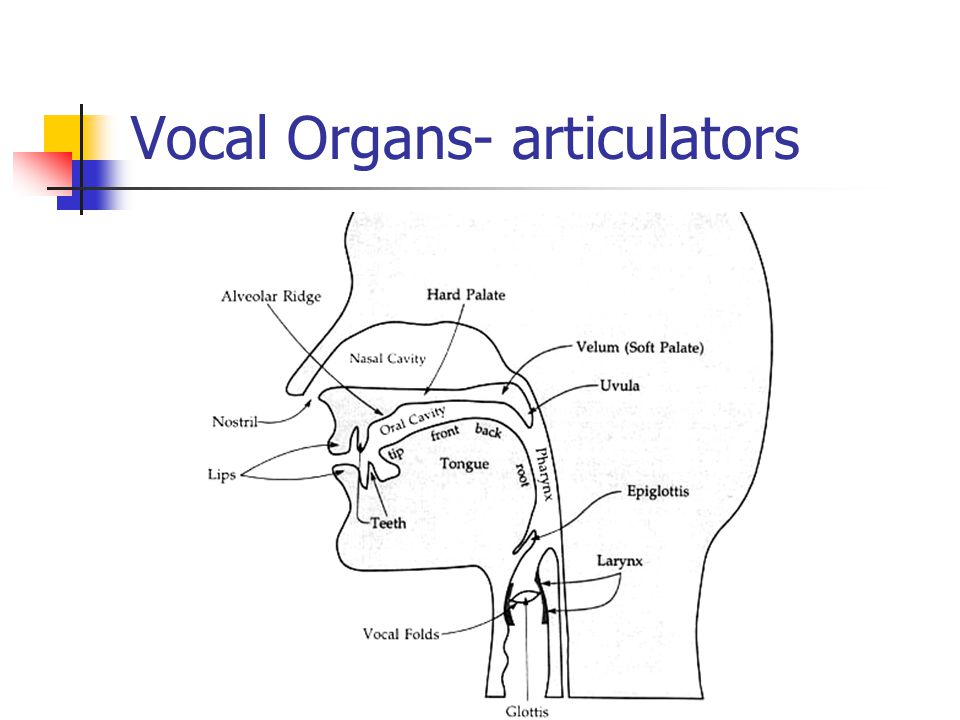 Vocal Organs- articulators