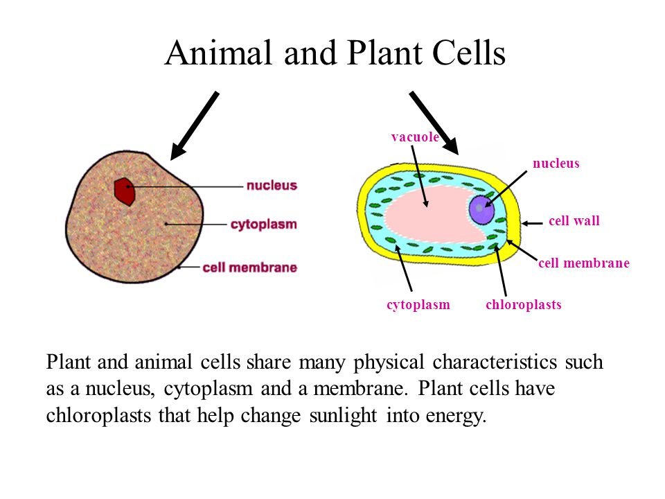 Difference Between Animal and Plant cells