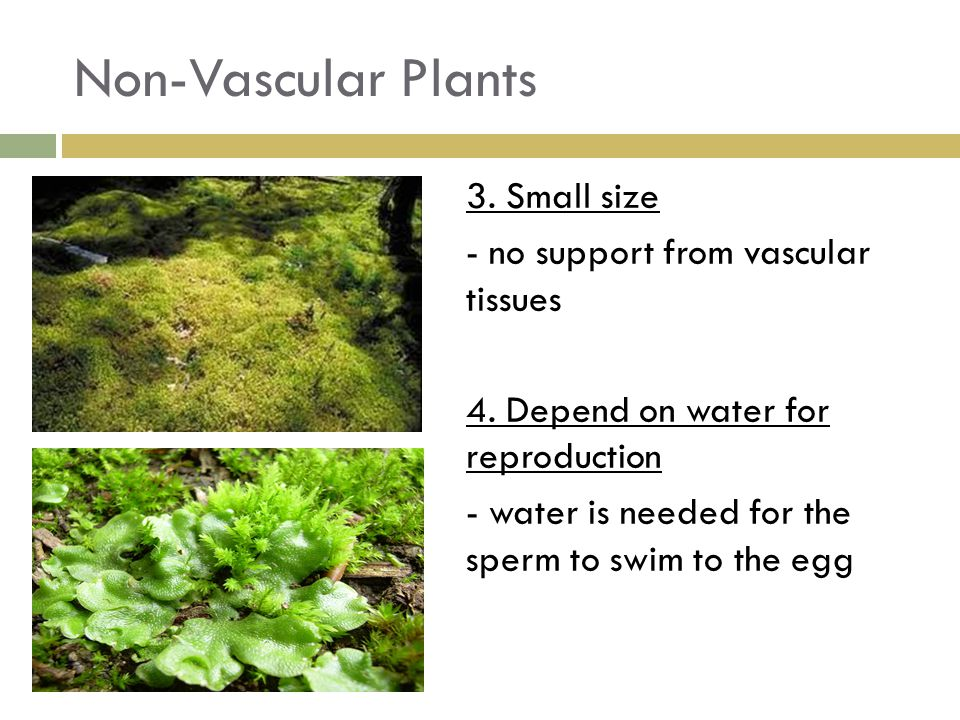 Non-Vascular Plants 3. Small size - no support from vascular tissues
