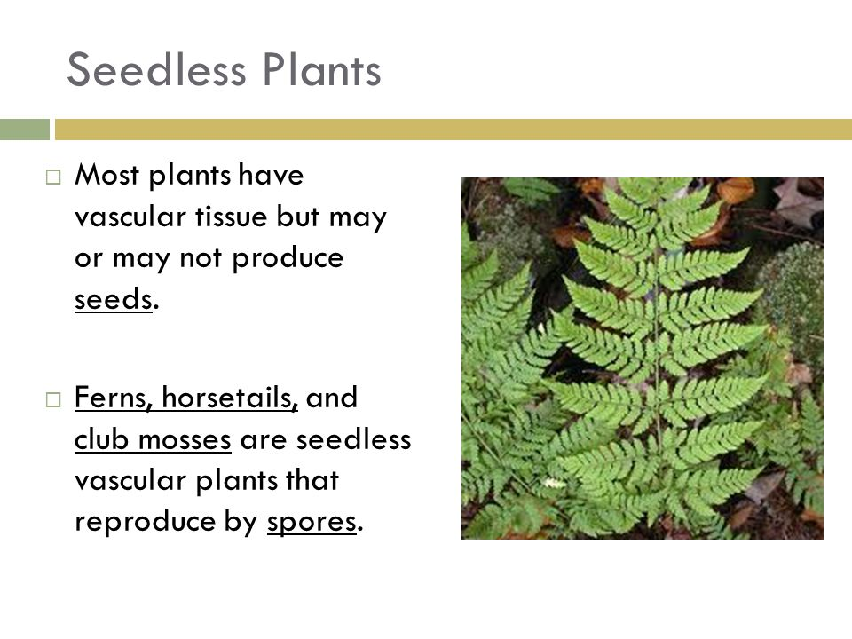 Seedless Plants Most plants have vascular tissue but may or may not produce seeds.