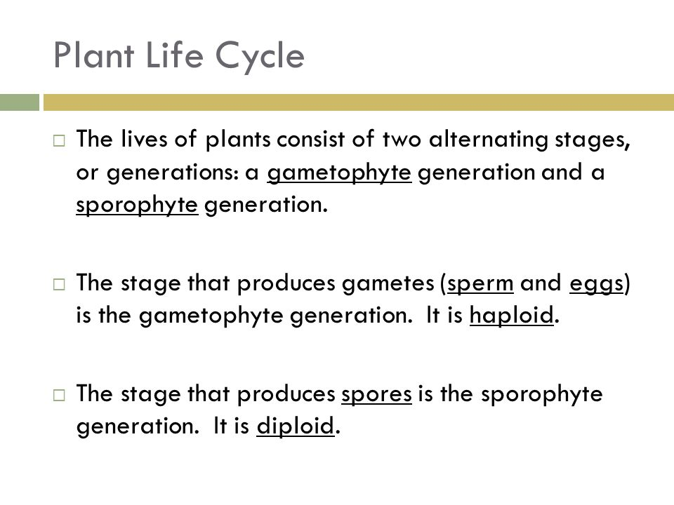 Plant Life Cycle The lives of plants consist of two alternating stages, or generations: a gametophyte generation and a sporophyte generation.